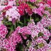 Sweet Williams - Dianthus barbatus mix